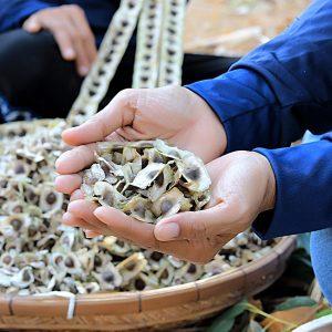 moringa-grown-fields-thailand-organic-01_sm